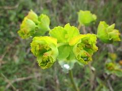 Las mil caras de las Euphorbia (esta_ahi) Tags: barcelona españa flores green spain flora flor euphorbia euphorbiaceae silvestres испания vilafrancadelpenedès euphorbiaserrata