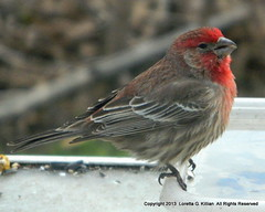 Male House Finch (Peachhead (1,000,000 views!)) Tags: male bird primavera spring american breeding pajaro printemps oiseau housefinch vogel uccello plumage molla fruhling