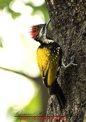 Woodpecker (Shajal1) Tags: birds woodpecker yellow black photography canon60d hassan qamrul shajal white wonderful supershot tree red portrait pink old nice trees excellent gettyimagesbangladeshq12012 golden green lens life lovely macro nature intel i7 leaf evening colorful color closeup core dark dell disk dof eos canon beautiful amazing 75mm blinkagain blue 70mm300mm 300mm 55mm beauty dhaka bangladesh
