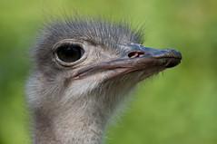 animal park, emu, FAA, Germany, Lens Nikon 70-300mm f-4.5-5.6G IF-ED AF-S VR Nikkor, Stuttgart, Wilhelma.jpg