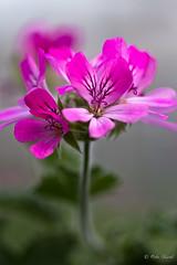 Scented Geranium-9107 (Orkakorak) Tags: flowers flora storybookwinner
