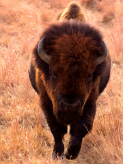 Pride_Of_Kansas (JSPhotoLLC) Tags: animal buffalo wildlife kansas bison oilpainting canon60d maxwellwildliferefuge pixelbender