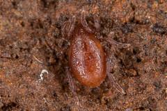 Is this a Mite??? (yes...likely Holothyrida) (zosterops) Tags: australia tasmania castra canoneos6d canonmacrolensmpe65 macro acarina holothyrida acari