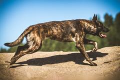 IMG_0709 (jabberjinx) Tags: dog dogs canon shepherd canine hh brindle dutchshepherd dogphotos hollandse dutchie paimenkoira hollandseherder canoneos7d canon7d hollanninpaimenkoira holsku