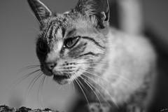 A new friend (Laph95) Tags: nb bw monochrome cat chat animal flin outside dehors extrieur close proche poil moustache regard eyes glance pet
