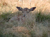 Camouflage (François Tomasi) Tags: faon daim daine nature campagne touraine tours animal france europe nikon flickr pov biche sauvage lumière light paille herbe herbes bambi google