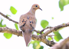 mourning dove at Lake Meyer Park IA 854A4107 (lreis_naturalist) Tags: mourning dove lake meyer park winneshiek county iowa larry reis