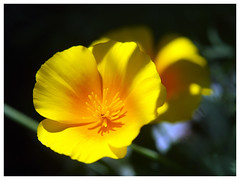 Fleur jaune (abac077) Tags: fleur flower jaune yellow couleur jardin color garden