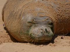 Hawaiian Monk Seal (llio holo I ka uaua) (jtbksc) Tags: hawaii kauai monkseal hawaiianmonkseal animalplanet neomonachusschauinslandi