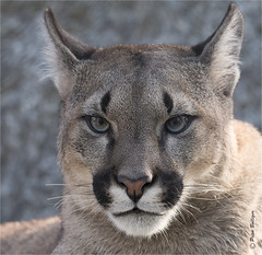 Curiously looking at me (Fisherman01) Tags: puma cougar plttlizoofrauenfeld