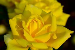 Flowers. (ost_jean) Tags: roos rose vrijbroekpark yellow beauty light ostjean belgique belgie belgium macro nikon d5200 900 mm f28 fleurs bloem flowers floral floreale   bokeh vrijbroekparkmechelen