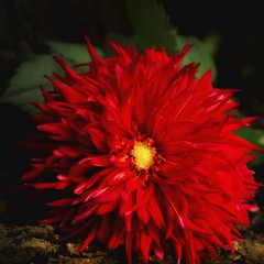 Red Dahlia (Indiana Photographer) Tags: nature flower red brightred detail closeup dahlia