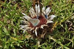 Silberdistel (Hugo von Schreck) Tags: hugovonschreck outdoor flower silberdistel carlinaacaulis blume blte macro makro canoneos5dsr tamronsp90mmf28divcusdmacro11f017