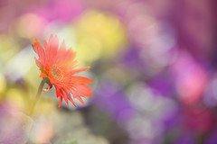 Gerbera (lfeng1014) Tags: gerbera gerberadaisy colourful colours multipleexposure macro macrophotography canon5dmarkiii 100mmf28lmacroisusm depthoffield dof lifeng closeup bokeh