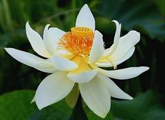 Lotus 03 (itsuo.t) Tags: lotusflower summerflower bloomsinpond ハスの花 蓮