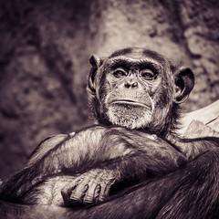 Montag - laaaangweilig!! (Monday face) (Karsten Gieselmann) Tags: 100300mmf4056 schimpanse monochrome mzuiko affen microfourthirds tiergartenzoo em5markii braun lumixgvario kgiesel farbe olympus schwarzweis bw blackwhite brown chimpanzee color m43 mft monkey mono sw zoo leipzig sachsen deutschland de