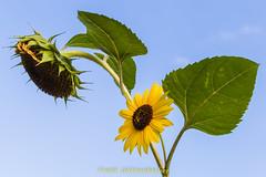 Der Sommer geht zu Ende... (fr@nzel2104) Tags: brandenburg canon dslr deutschland eos eos6d eosd natur spreeneise telezoom vollformat sonnenblume himmel welk verwelkt blte