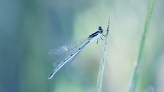 Resting Damselfly (imageClear) Tags: damselfly bluedamselfly marsh bog beach sheboygan wisconsin nature reeds bokeh aperture nikon d600 105mm macro imageclear flickr phtotostream lovely light color bluechannel