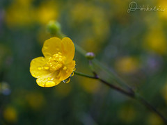 Tavasz / Spring (diskalcs) Tags: tavasz spring cseppek drops srga yellow rt meadow makr macro dof