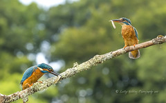 two by two (Kingfishers) (pixellesley) Tags: kingfisher alcedoatthis bird feeding birdwatching fishing perch landscape diving swimming summer river water hide wild wildlife uk scotland male female