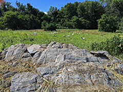 Goat pasture (baalands) Tags: western maryland pasture meat goat performance test kiko bucks rock break