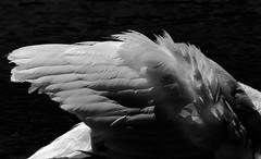 Icarus (Ananasjuice) Tags: swan swans switzerland neuchtel lake cygnes summer nature birds oiseaux calme lac suisse extrieur mono blackandwhite