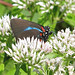 Great purple hairstreak (Atlides halesus) - yesterday
