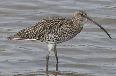 Are you taking the Cure...Lew ? (robbie20161) Tags: birds animals curlew numeniusarquata nature wildlife rivers water cardigan teifi