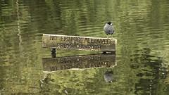 No Fishing (Jay-Aitch) Tags: no fishing towpath coot water lumix g vario 14140f3556 daisy nook oldham crime lake green reflection