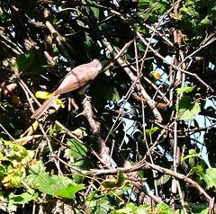 Yellow-billed Cuckoo_N9853 (Henryr10) Tags: ottoarmlederpark hamiltoncountyparkdistrict cincinnati ottoarmledermemorialpark armlederpark littlemiamiriver greatparksofhamiltoncounty canoelaunch yellowbilledcuckoo cuckoo coccyzus coccyzusamericanus avian bird vogel ibon oiseau pasare fågel uccello tékklistar ybcu