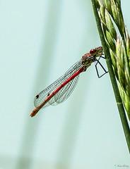 Libellule - Dragonfly (Kaya.paca) Tags: libellule dragonfly lac lake spring printemps exterieur nature red rouge profondeurdechamp