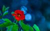 Happy Bokeh Wednesday (Steve-h) Tags: nature natur natura naturaleza flower leaves bokeh flares colour colours red orange yellow green blue black nasturtium autumn fall september 2015 ef eos canon camera lens digital exposure garden horticulture dublin ireland europe steveh hbw allrightsreserved