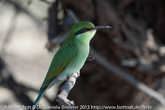 "Green Bee Eater • <a style=""font-size:0.8em;"" href=""http://www.flickr.com/photos/56545707@N05/8381968192/"" target=""_blank"">View on Flickr</a>"