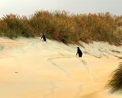 Yellow-eyed Penguins, Sandfly Bay (jurassicjay) Tags: travel newzealand beach birds penguin sand wildlife dunes otago sanddunes otagopeninsula yelloweyedpenguin megadyptesantipodes