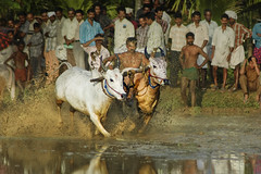 Bull Racing in Kerala - photography of (Anoop Negi) Tags: red india white field sport festival rural photography photo rice agrarian kerala bull racing festivity activity anoop redbull onam negi adoor bullrace ezee123