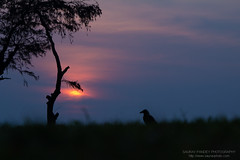 Sunset (Saurav Pandey) Tags: sunset sky sun black tree grass dark evening twilight close sundown dusk flame crow chennai decline silhoutte tamilnadu nightfall mahabalipuram mamallapuram lateafternoon eventide kancheepuram duskiness