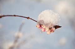 Hanging on (Kristin Sig) Tags: winter snow nature berries snjr vetur ber