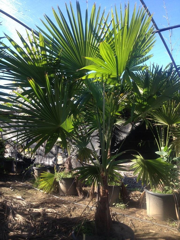 Trachycarpus Latisectus