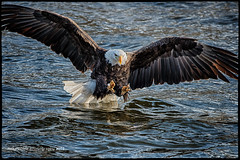 Claws Out (Titanfan) Tags: river mississippi nikon unitedstates eagle baldeagle iowa 500mm bettendorf bif d800 tc17eii leclaire lockdam14 mikenoblephotography 300mmf28gvrii