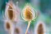 Teasel (Anna Omiotek-Tott) Tags: winter plants nature garden spiky january seedhead teasel softfocus elegant dryflowers thisle ledlight tamron90mm28macro nikond800 visionqualitygroup annaomiotektott