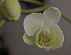 come closer my pretty (zawaski) Tags: white canada orchid flower calgary robert sensual alberta jh canonef50mmf18ii zawaski 2013 zawaski2013 robertzawaski 2014 2015 zawaski2015 robert robertzawaski2016 zawaski2016