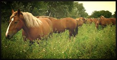 2011 C'est le paradis ici     -It's heaven here. (Marie Jestin) Tags: sky horse france nature animals landscape cheval brittany mare bretagne natura breizh breton chevaux drafthorse finistère poulain trait wildlive jument postier pouliche supershot thegalaxy chevalbreton mygearandmepremium blinkagain bestofblinkwinners ruby5 bestofsuperstars blink4gallery