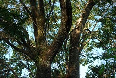 Bridelia exaltata (dustaway) Tags: plants nature australia bark nsw trunk lichen branching euphorbiaceae northernrivers australiantrees arfp phyllanthaceae australianrainforestplants bridelia fissuring nswrfp qrfp brushironbark scrubironbark littoralarf subtropicalarf dryarf brideliaexaltata