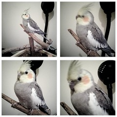 Bored Bird (Kiwithing) Tags: blur bird grid blurry perch cockatiel polyptych quadriptych
