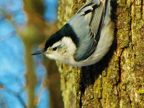 Winter Nuthatch