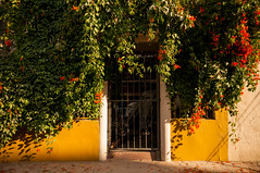 nature (Sam Scholes) Tags: wall gate plant vines colorful yellow orange travel vacation digital d300 nikon bajacaliforniapeninsula todossantos mexico