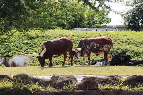ankole watusi cattle