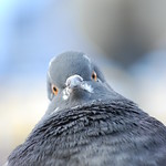 "Pigeon<a href=""http://www.flickr.com/photos/28211982@N07/8482203512/"" target=""_blank"">View on Flickr</a>"