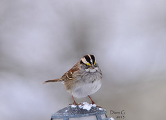 White-throated Sparrow (Diane G. Zooms) Tags: nature birds ngc sparrow whitethroatedsparrow wildbirds coth specanimal fantasticnature coth5 sunrays5