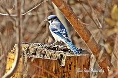 Blue Jay (Gillian Floyd Photography) Tags: park blue tree bird jay feeder seeds stump sunflower mississauga riverwood